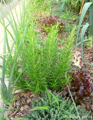 El huerto y las plantas aromaticas el balcon verde - Huerto de plantas aromaticas ...