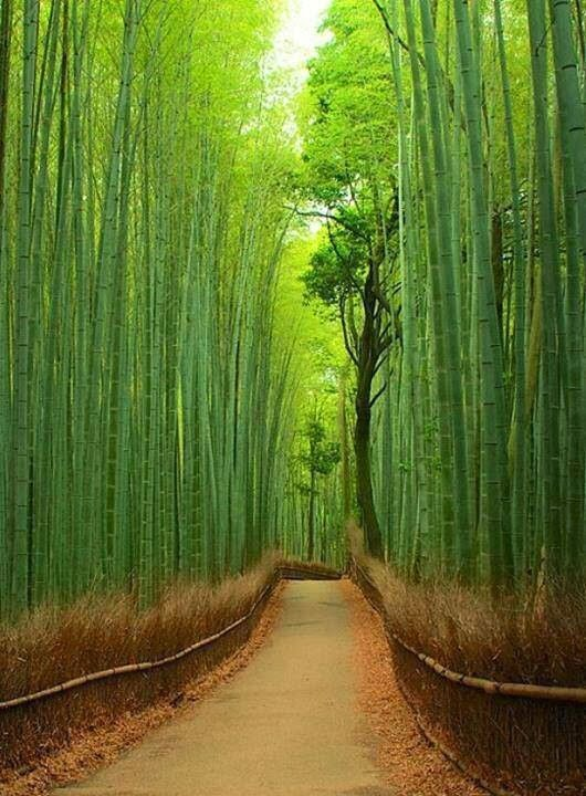 Bamboo+Forest,+Japan